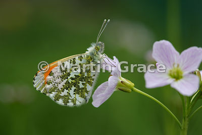 Male Orange Tip butterfly (Anthocharis cardamines) waiting on Cuckoo Flower (Lady's Smock) (Cardamine pratensis) for a female...