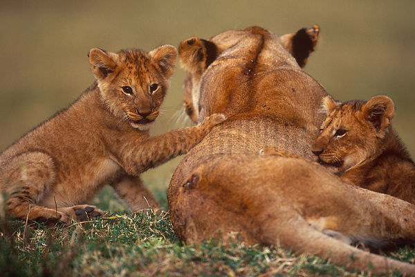 You Lion Cubs Playing with their Mother