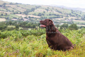 Chocolate labrador dog sat in ferns with hills in background