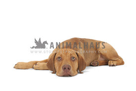 Yellow mixed breed dog lying head down on white background