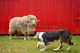 sheep dog and merino sheep