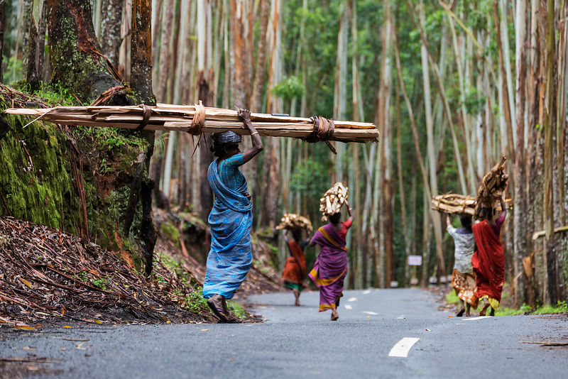 Women from Vattavada Village Collecting Eucalyptus Wood