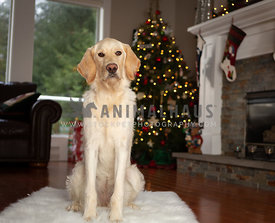 Lab puppy sitting in front of Christmas tree in living room