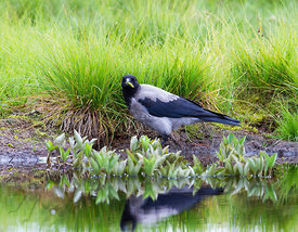 Hooded Crow with Bogbean root