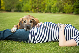 Older Ridgeback dog rests head on pregnant owners lap