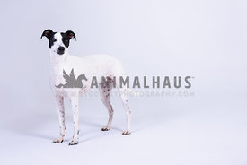 black and white crossbreed in studio with white backdrop