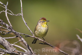 Palm Warbler in Dry Tortugas National Park, Florida, USA