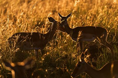 Two Affectionate Impalas at Sunrise
