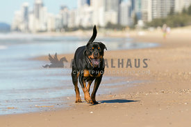 smiling rottweiler trotting up the beach