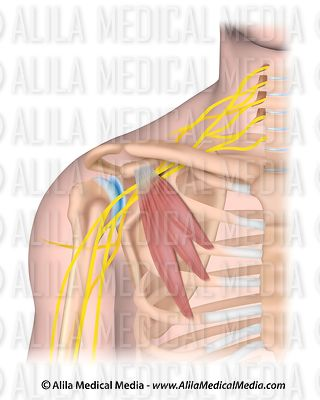Pectoralis minor muscle and the brachial plexus