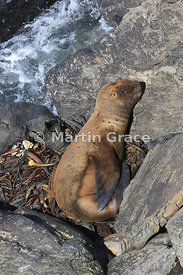 Southern Sea Lion (Otaria flavescens) sleeping in the sun on a bed of washed-up kelp above the sea, Sea Lion Island, Falkland...