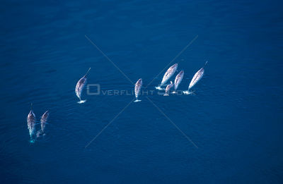 Aerial view of Narwhals {Monodon monoceros} Canadian Arctic