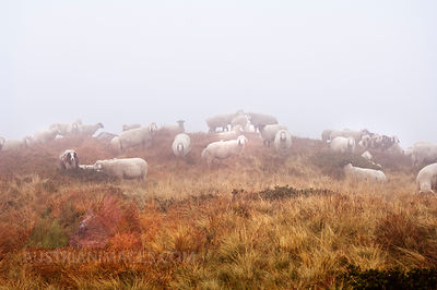 Austria, Styria, Flock of sheeps in fog at Reiteralm