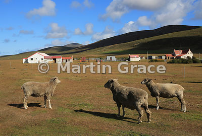 Typical Falkland Islands settlement buildings with Falkland Sheep, here at Saunders Island Settlement