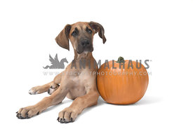 Great Dane puppy with pumpkin on white background