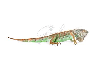 Iguana Profile - Isolated on White