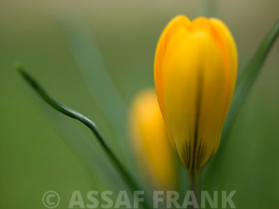 Yellow crocus on colored background, close-up