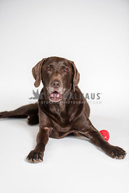 chocolate lab with gray muzzle lying down with red kong beside him