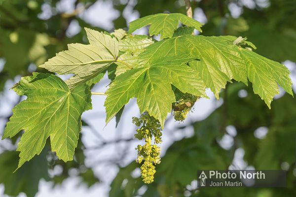 SYCAMORE 02A - Sycamore flowers