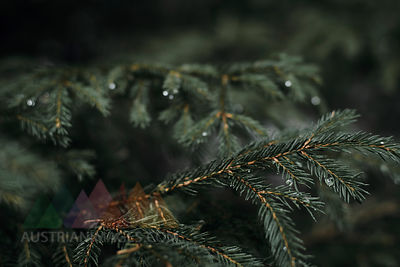 Bulgaria, Vitosha, Pine tree after rain, pine twigs