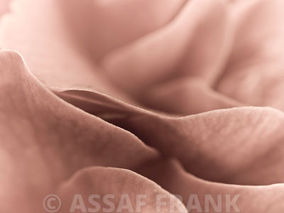 Camellia (Camellia japonica), close-up, Full frame