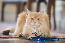 Orange-colored Maine Coon Cat Lying on Floor surrounded by cat toys