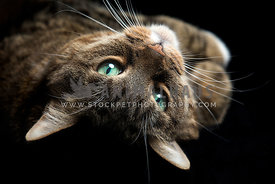 Close-up studio portrait of pretty tabby cat lying on the back