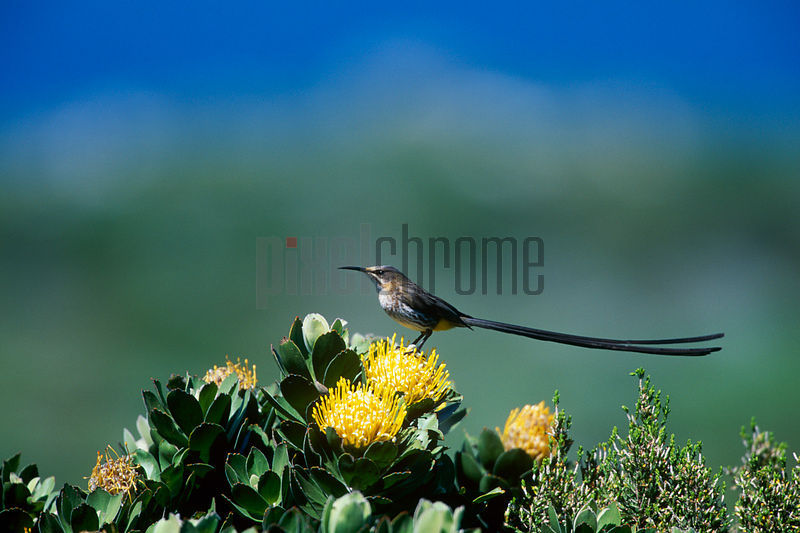 Cape Sugarbird on Protea Flower