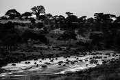 06805-Buffalos_in_Tarangire_Tanzania_2018_Laurent_Baheux