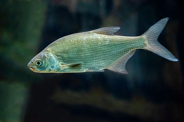 Brème commune - Common Bream (Abramis brama)