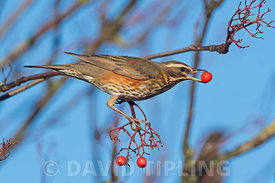 Redwing Turdus iliacus feeding on ornamental Rowan berries in garden Penrith Cumbria December