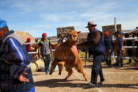 Man trying to control his alpaca that has been selected to take part in competition before weighing, Curahuara de Carangas, B...