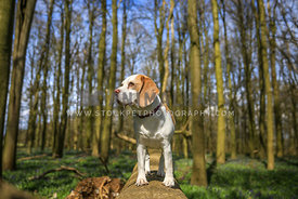 Dog standing on Tree Stump in Woodland