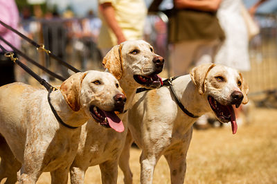 Hound Show at Dunster Country Fair  '18