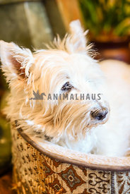 white West Highland terrier dog laying down in bed looking out window from inside his home