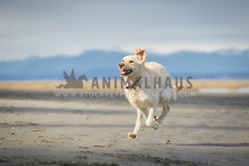 Yellow lab dog running on the beach