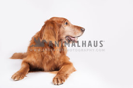 senior golden retriever laying on a white background looking to the right