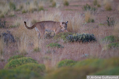 Puma walk at Torres Del Paine