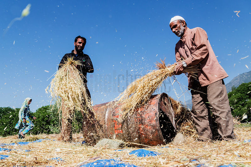 Family Members Threshing Mustard