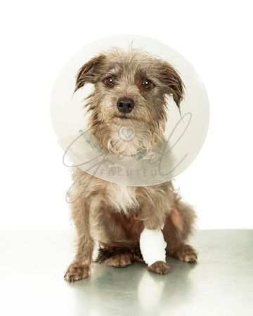 Injured Small Dog Wearing Cone on Vet Table