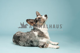 blue merle cardigan corgi laying on a blue background looking up to the right