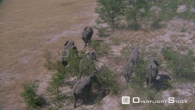 Aerial rear view of herd of elephants running through bushveld Zimbabwe