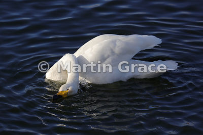 Strange pose by a Whooper Swan (Cygnus cygnus) while bathing in late afternoon sunlight, Dumfries & Galloway, Scotland