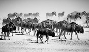 00540-Wildebeests_Laurent_Baheux