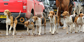 Huntsman and hounds - The Belvoir Hunt at Springfield Farm 25/2