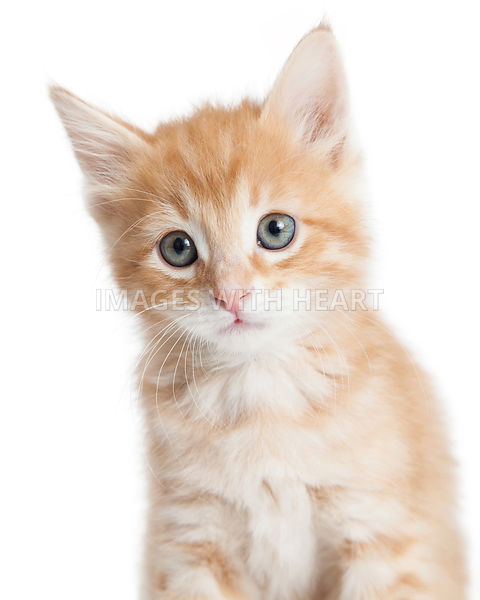Adorable orange tabby kitty closeup