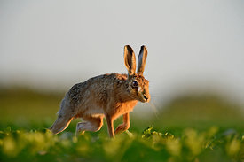 Brown (European) Hare Lepus europaeus Norfolk