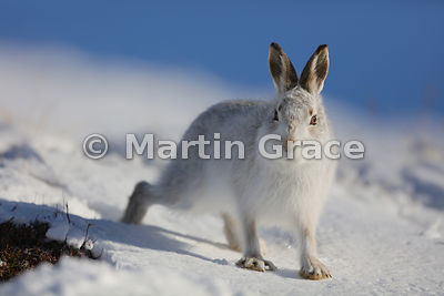 Mountain Hare (Arctic Hare) (Lepus timidus) walking towards the photographer in snow, February 13, Strathdearn, Scottish High...
