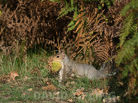 Grey Squirrel  Sciurus carolinensis collecting Sweet Chestnuts to cache for winter Richmond Park London October