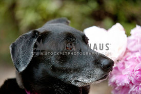 Senior-Black-Lab-Profile-Pink-Flowers-Greenery